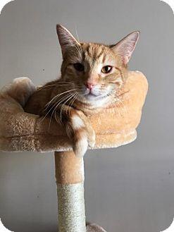 Domestic Mediumhair Cat for adoption in Bloomington, Illinois - Poseidon