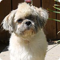 Adopt A Pet :: Adam Ant - Los Angeles, CA