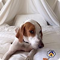 Adopt A Pet :: Django - Bradenton, FL