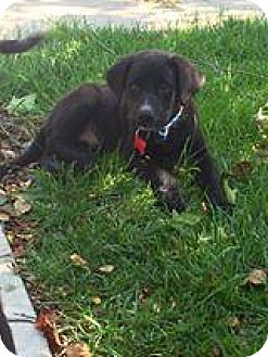 Labrador Retriever/Catahoula Leopard Dog Mix Dog for adoption in ...