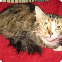 Maine Coon Cat for adoption in Agoura Hills, California - Darcy
