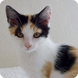 Domestic Shorthair Cat for adoption in Pacific Grove, California - Spice