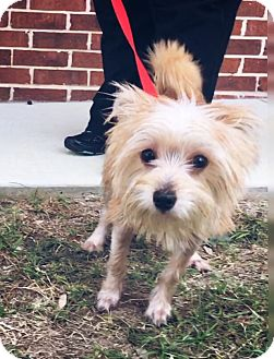 Terrier (Unknown Type, Small) Mix Puppy for adoption in San Antonio, Texas - Patsy Cline