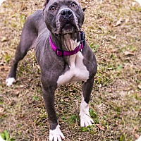 American Staffordshire Terrier Dog for adoption in Warner Robins, Georgia - Joy