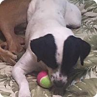 Adopt A Pet :: Bud - Port Charlotte, FL