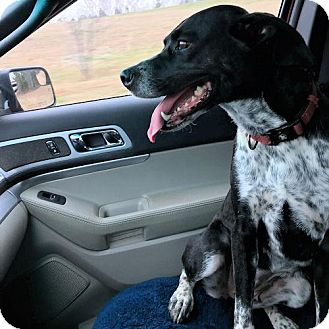 English Pointer Mix Dog for adoption in Rocky Hill, Connecticut - Barley