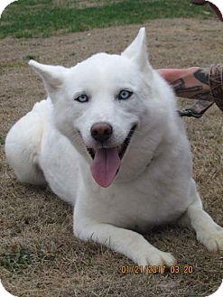 Siberian Husky Dog for adoption in Bristol, Virginia - Grace