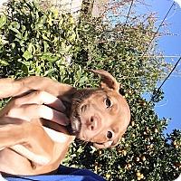 Adopt A Pet :: Nikkie - LAKEWOOD, CA