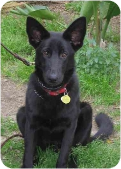 German Shepherd Dog/Flat-Coated Retriever Mix Dog for adoption in Bellflower, California - Ally