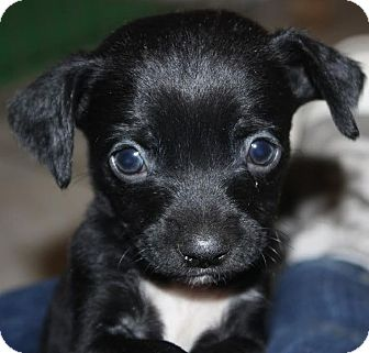 Labrador Retriever Chihuahua Mix