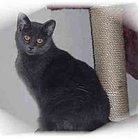 Domestic Shorthair Cat for adoption in Montgomery, Illinois - Jibby