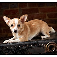 Adopt A Pet :: Pearl - Owensboro, KY