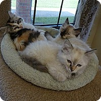 Adopt A Pet :: Adorable Kittens - Lake Charles, LA