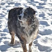 Adopt A Pet :: Cowboy - Elk River, MN