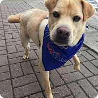 Adopt A Pet :: Brownie-Courtesy List - Bristol, TN
