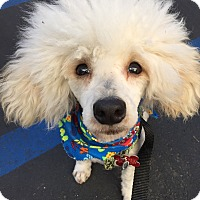 Adopt A Pet :: Mammoth - K9 Genius - Los Angeles, CA