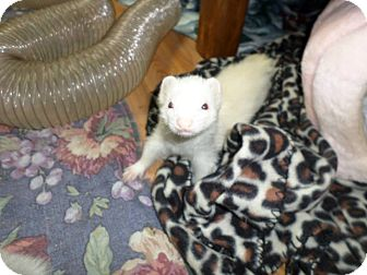Ferret for adoption in Fawn Grove, Pennsylvania - Balto