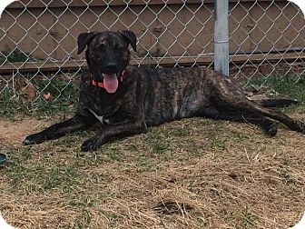Plott Hound Mix Dog for adoption in La Crosse, Wisconsin - Izzy