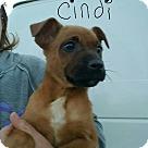 Adopt A Pet :: Cindi