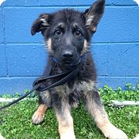 Adopt A Pet :: Thor - Waldorf, MD