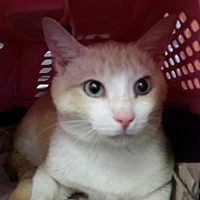 Domestic Shorthair Cat for adoption in Ocala, Florida - Sweet Sid