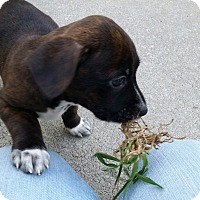 Adopt A Pet :: Caylee - Weeki Wachee, FL