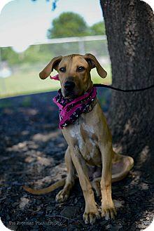Rhodesian Ridgeback/Labrador Retriever Mix Dog for adoption in Muldrow, Oklahoma - Carmon