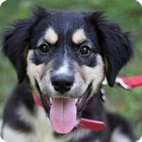 Adopt A Pet :: Arya - Nanuet, NY