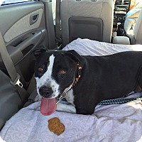 Pit Bull Terrier Dog for adoption in Las Vegas, Nevada - Molly