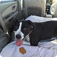 Adopt A Pet :: Molly - Las Vegas, NV