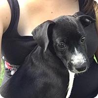 Adopt A Pet :: Kasey - Joliet, IL
