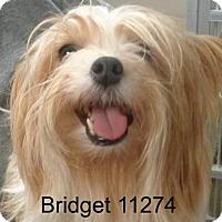 Adopt A Pet :: Bridget - Alexandria, VA