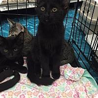 Domestic Mediumhair Kitten for adoption in Mansfield, Texas - Jordan