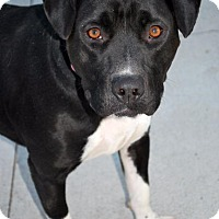Pit Bull Terrier Mix Dog for adoption in Madison, Alabama - Jewel