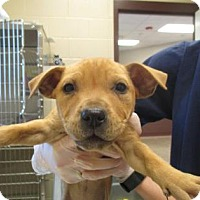 Adopt A Pet :: Belle - Irving, TX
