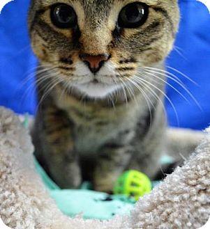 Domestic Shorthair Cat for adoption in Monroe, Michigan - Devon