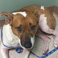 Adopt A Pet :: Sheena - San Leandro, CA