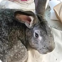 Adopt A Pet :: The Abominable Snowbun - Lowell, MA