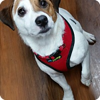 Adopt A Pet :: Bandit - Silver Spring, MD