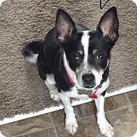 Adopt A Pet :: Mugsy - Las Vegas, NV