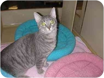 Domestic Shorthair Cat for adoption in Woodstock, Georgia - Krystal