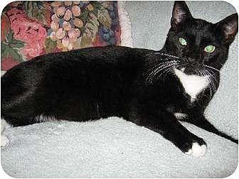 Domestic Shorthair Cat for adoption in Fullerton, California - Valentine