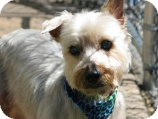 Yorkie, Yorkshire Terrier Mix Dog for adoption in Wilmington, Massachusetts - Sae