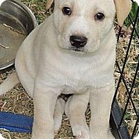 Adopt A Pet :: Peeta - La Habra Heights, CA