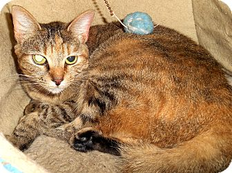 Domestic Shorthair Cat for adoption in Chattanooga, Tennessee - Sandi