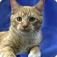 Domestic Shorthair Cat for adoption in St. Louis, Missouri - Sonny Boy WIlliamson
