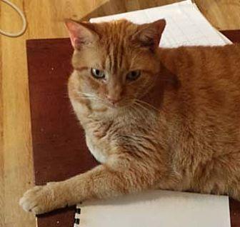 Domestic Shorthair Cat for adoption in Merrifield, Virginia - Bon Bon