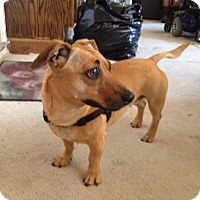 Dachshund/Terrier (Unknown Type, Medium) Mix Dog for adoption in Oakland, California - CHA CHA