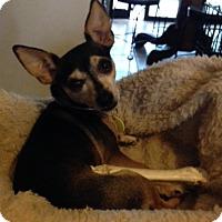 Adopt A Pet :: Lil Bit - Garland, TX