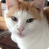 Domestic Shorthair Cat for adoption in Randleman, North Carolina - Caroline